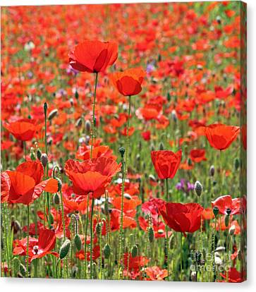 Commemorative Poppies Canvas Print