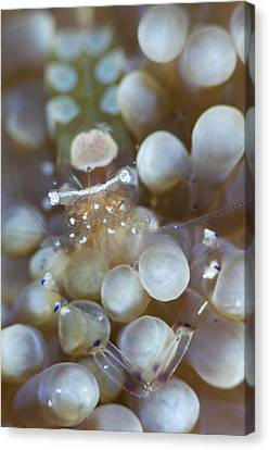 Commensal Shrimp On Anemon Canvas Print by Science Photo Library