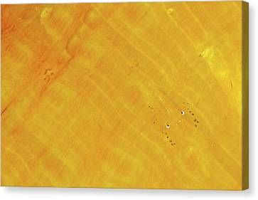 Commensal Shrimp Canvas Print by Steve De Neef - Vwpics Steve De Neef