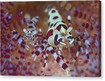 Commensal Shrimps On Sea Urchin Canvas Print by Scubazoo