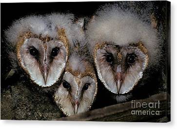 Common Barn Owl Chicks Tyto Alba Canvas Print by Ron Sanford