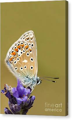 Common Blue Canvas Print by Anne Gilbert