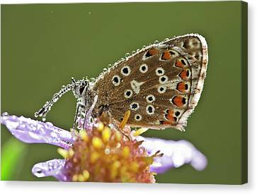 Common Blue Butterfly Covered In Dew Canvas Print by Bob Gibbons