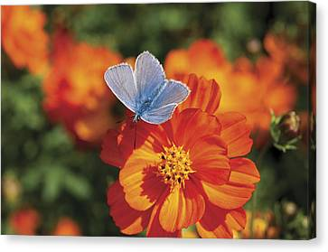 Canvas Print featuring the photograph Common Blue Butterfly by Lana Enderle