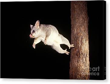 Brushtail Canvas Print - Common Brush-tailed Possum by BG Thomson