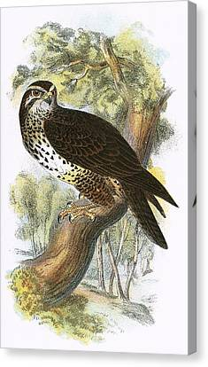 Common Buzzard Canvas Print by English School