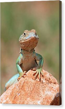 Canvas Print featuring the photograph Common Collared Lizard 2 by Elizabeth Budd