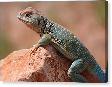Canvas Print featuring the photograph Common Collared Lizard by Elizabeth Budd