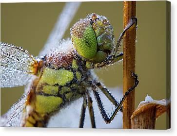 Common Darter Dragonfly Canvas Print by Heath Mcdonald