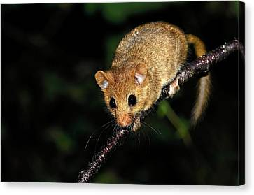Common Dormouse Canvas Print by Colin Varndell