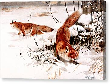 Common Fox In The Snow Canvas Print