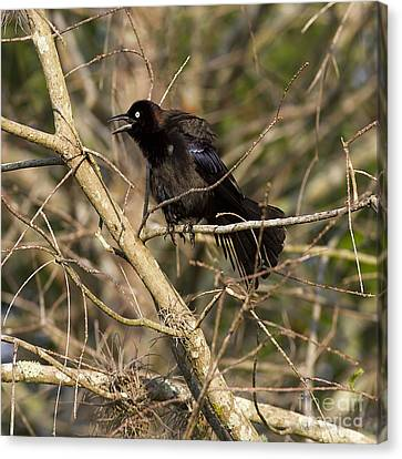 Common Grackle Canvas Print by Anne Rodkin