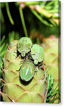 Common Green Shield Bugs Canvas Print by Heiti Paves