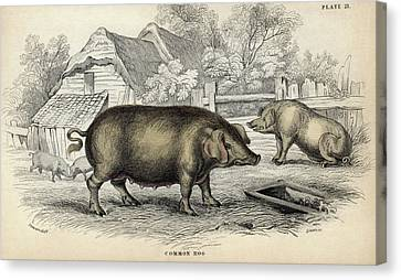 Common Hog Canvas Print by Natural History Museum, London