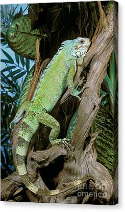 Terrestrial Canvas Print - Common Iguana by ER Degginger