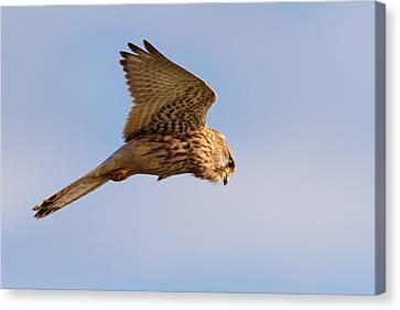 Common Kestrel Hovering In The Sky Canvas Print by Roeselien Raimond