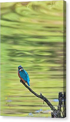 Common Kingfisher Canvas Print