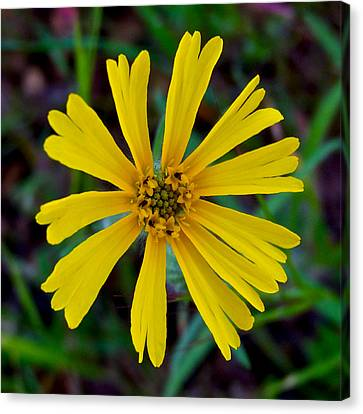 Common Madia In Park Sierra-ca Canvas Print by Ruth Hager