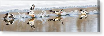 Common Merganser Flight Canvas Print by Bill Wakeley