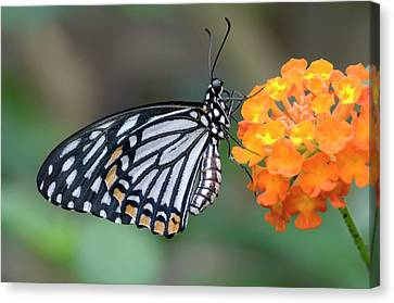 Common Mime Butterfly Canvas Print