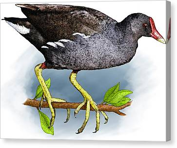 Common Moorhen Canvas Print by Roger Hall