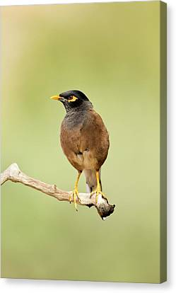 Common Myna Acridotheres Tristis Canvas Print by Photostock-israel