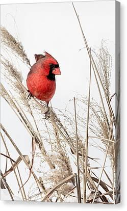 Common Northern Cardinal Canvas Print