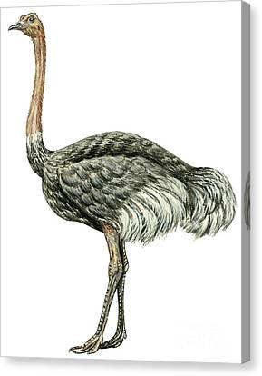 Common Ostrich Canvas Print by Anonymous