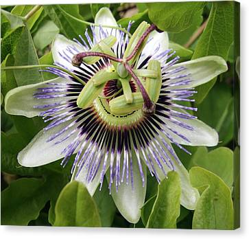 Passiflora Canvas Print - Common Passion Flower by D C Robinson