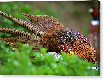 Common Pheasants Canvas Print by Science Photo Library