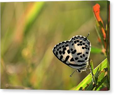 Common Pierrot Butterfly Canvas Print
