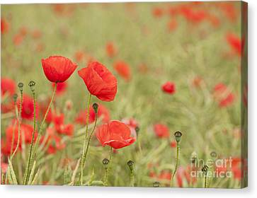 Common Poppies Canvas Print by Anne Gilbert