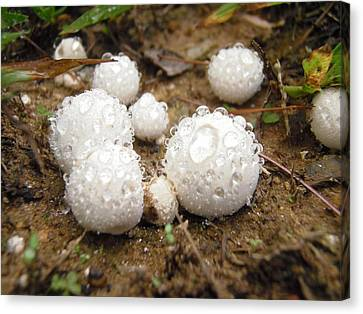 Common Puffball Dewdrop Harvest Canvas Print
