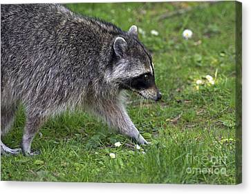 Common Raccoon Canvas Print by Sharon Talson