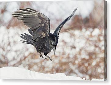 Common Raven Canvas Print by Bill Wakeley