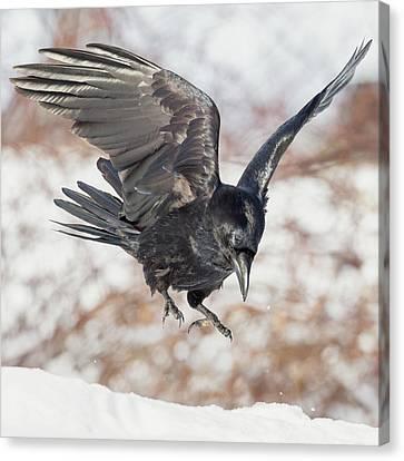 Common Raven Square Canvas Print