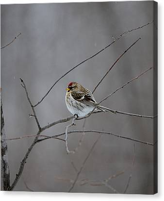 Canvas Print featuring the photograph Common Redpoll by David Porteus