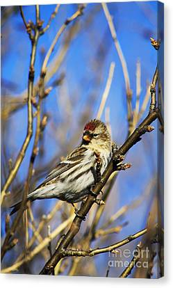 Common Redpoll Female Canvas Print by Alyce Taylor