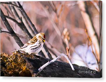 Common Redpoll Female Canvas Print by Chris Heitstuman