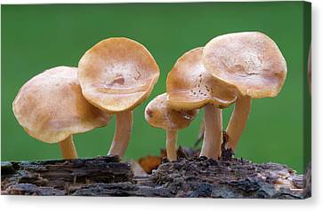 Common Rustgill (gymnopilus Penetrans) Canvas Print by Nigel Downer