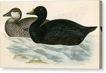 Common Scoter Canvas Print by Beverley R Morris