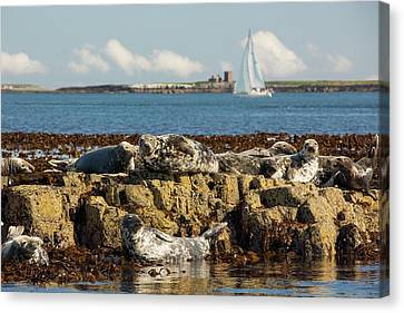 Common Seals Canvas Print by Ashley Cooper