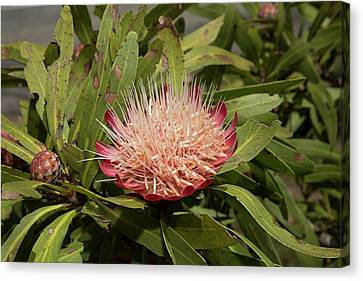 Common Sugar Bush (protea Caffra) Canvas Print by Bob Gibbons