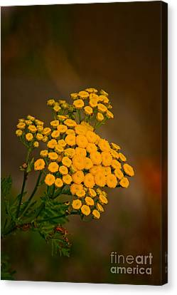 Canvas Print - Common Tansy by Michael Cummings