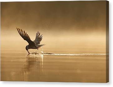 Hirundo Canvas Print - Common Tern Fishing Zuid-holland by Zenno Bloemendal