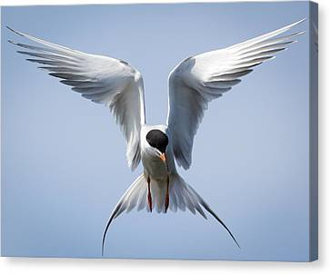 Common Tern Canvas Print by Ricky L Jones