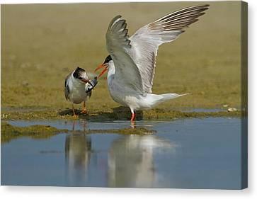 Common Tern (sterna Hirundo) Canvas Print by Photostock-israel