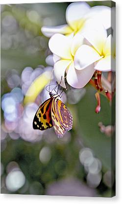 Common Tiger Glassywing Butterfly On Plumeria Bloom Canvas Print
