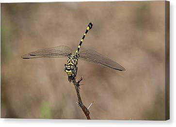 Common Tigertail Dragonfly Canvas Print by Bob Gibbons