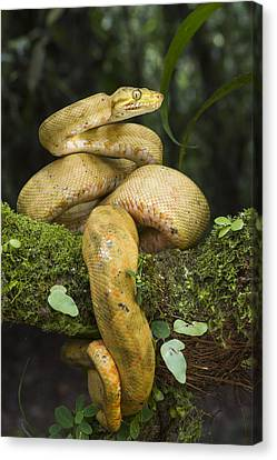 Common Tree Boa -yellow Morph Canvas Print by Pete Oxford